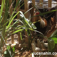Having Chickens in the Garden